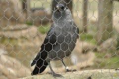 Western jackdaw (Corvus monedula) Royalty Free Stock Photo