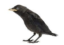 Western Jackdaw, Corvus monedula, 20 days old Stock Photography