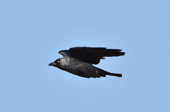 Western Jackdaw (Corvus monedula) Stock Photo