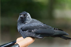Western jackdaw Royalty Free Stock Photos