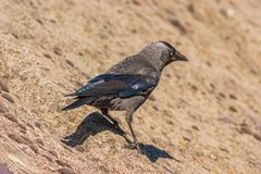 Western Jackdaw Facing Away From Camera. Western or European Jackdaw Coloeus monedula standing on a roof facing away from camera Stock Image