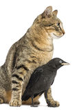 Western Jackdaw in the legs of a cat, isolated Stock Image