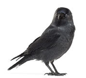 Western Jackdaw looking away, Corvus monedula Stock Images