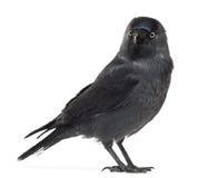 Western Jackdaw looking away, Corvus monedula Stock Images