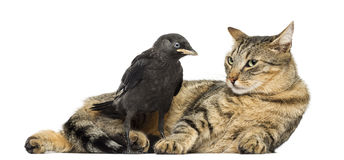 Western Jackdaw looking at a lying cat, isolated Stock Photography