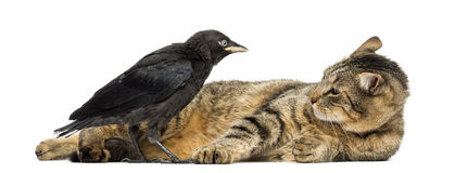 Western Jackdaw and lying cat looking at each other, isolated Stock Image