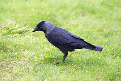 Western jackdaw. Stock Photo