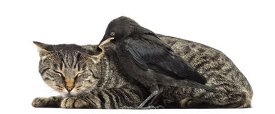 Western Jackdaw pecking a cat, isolated Royalty Free Stock Photo