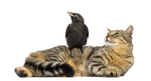 Western Jackdaw perched on a cat, looking in the same direction Royalty Free Stock Photography