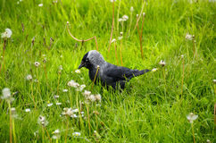 Western Jackdaw Stock Images