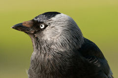 Western Jackdaw Portrait. Profile close-up royalty free stock photo