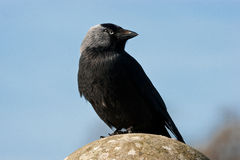 Western Jackdaw. Posing on stone ball stock photography