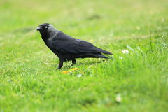 Western jackdaw Stock Photos