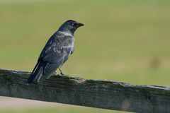 Western jackdaw on a branch, Sweden Royalty Free Stock Photo