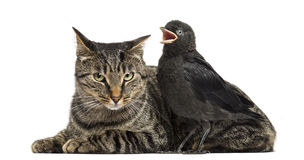Western Jackdaw tweeting next to a cat, isolated Royalty Free Stock Image
