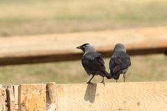 Western jackdaws Royalty Free Stock Photo