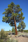 Western Juniper (Juniperus occidentalis) Royalty Free Stock Photo