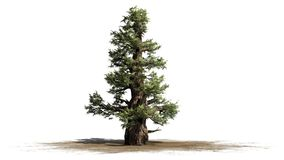 Western Juniper tree. Isolated on white background stock photo