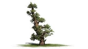 Western Juniper tree. Isolated on white background stock illustration