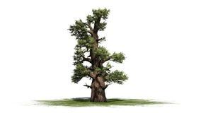 Western Juniper tree. Isolated on white background royalty free illustration