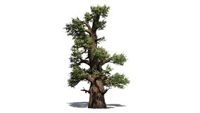 Western Juniper tree. Isolated on white background vector illustration