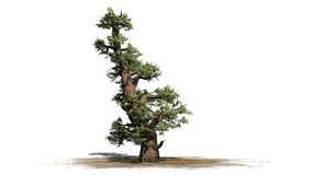Western Juniper tree. Isolated on white background royalty free stock photos
