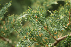 Western juniper twigs Royalty Free Stock Photo