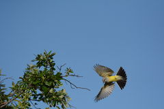 Western kingbird Stock Photo