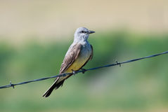 Western Kingbird Perched on Barbed Wire Royalty Free Stock Image