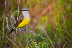 Western Kingbird. A Western Kingbird perches in the Colorado summer sunlight royalty free stock images