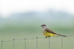 Western kingbird perching Stock Images