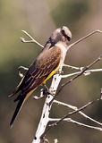 Western Kingbird Royalty Free Stock Photography