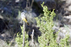 Western Kingbird, Tyrannus verticalis Royalty Free Stock Photography