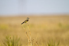 Western Kingbird, Tyrannus verticalis Royalty Free Stock Photo