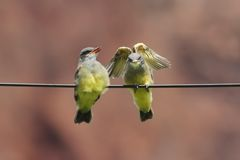 Western Kingbird Tyrannus verticalis Babies Royalty Free Stock Photography