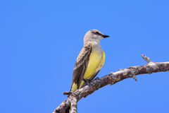 Western Kingbird Tyrannus verticalis Stock Photos