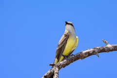 Western Kingbird Tyrannus verticalis Royalty Free Stock Photos