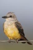 Western Kingbird Tyrannus verticalis Royalty Free Stock Images