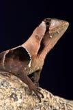 Western leaf lizard (Stenocercus fimbriatus) Stock Photography