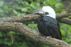 Western long-tailed hornbill Royalty Free Stock Image