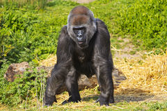 A western lowland female gorilla Stock Photo