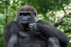 Western lowland female gorilla. In the Bronx Zoo stock photos