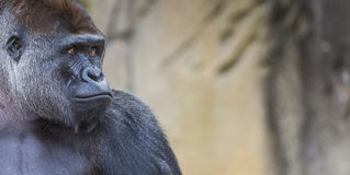 A western lowland female gorilla standing facing forward Royalty Free Stock Photos