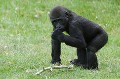 Western lowland gorilla Stock Photography