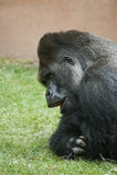 Western lowland gorilla Royalty Free Stock Photography