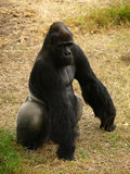 Western Lowland Gorilla. This is a Western Lowland Gorilla Stock Images