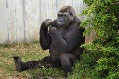Western lowland gorilla. Royalty Free Stock Photo