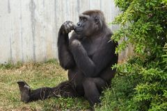 Western lowland gorilla. royalty free stock photography