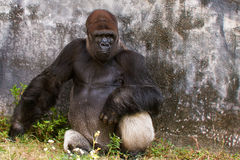 Western Lowland Gorilla Royalty Free Stock Photo