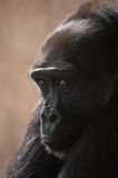 Western lowland gorilla Royalty Free Stock Photography